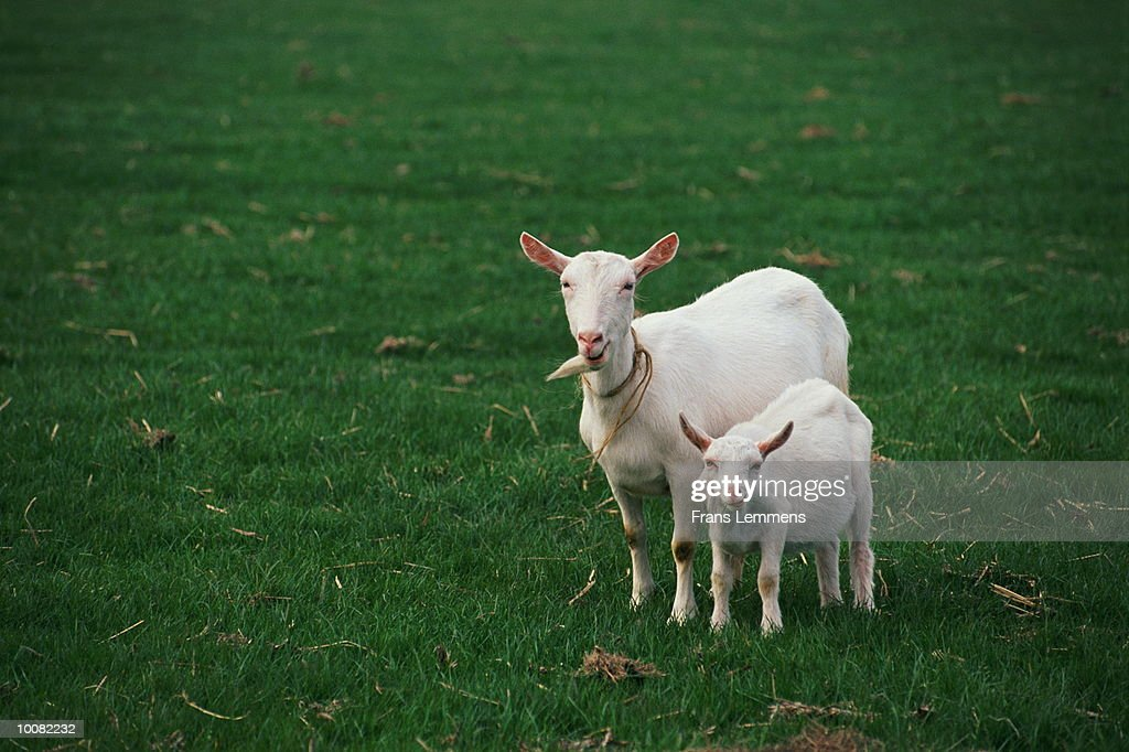 MOTHER GOAT AND YOUNG IN HOLLAND