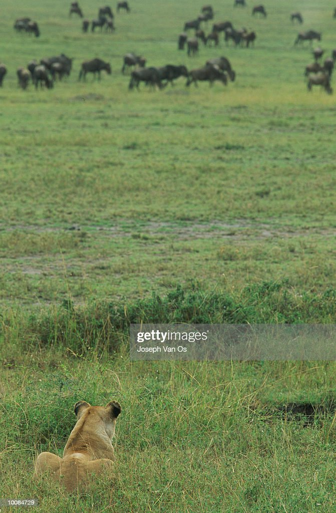 LIONESS STALKING AT MASAI MARA NATIONAL PARK IN KENYA : Stock Photo