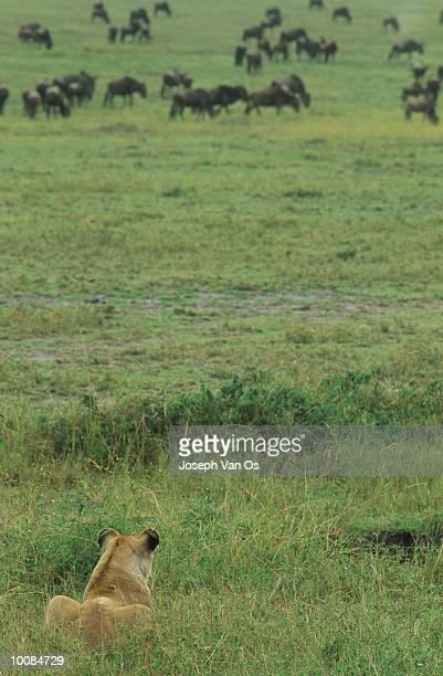 LIONESS STALKING AT MASAI MARA NATIONAL PARK IN KENYA