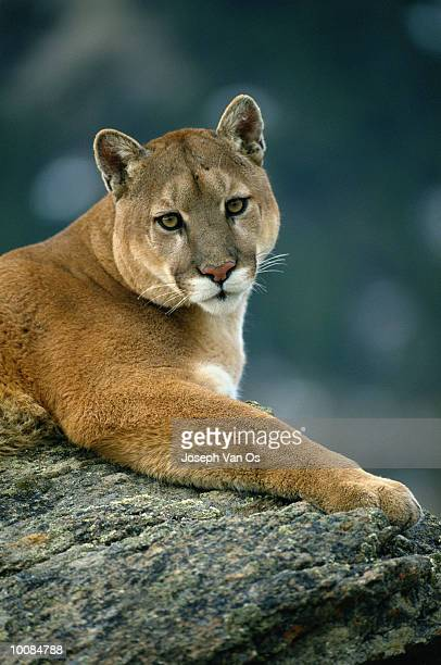 COUGAR IN WESTERN MONTANA