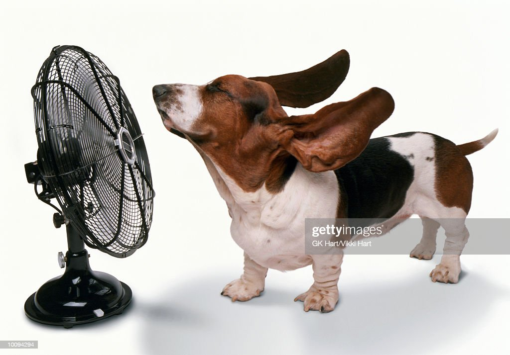 HAPPY DOG STAYING COOL BEING BLOWN AWAY BY FAN : Stock Photo