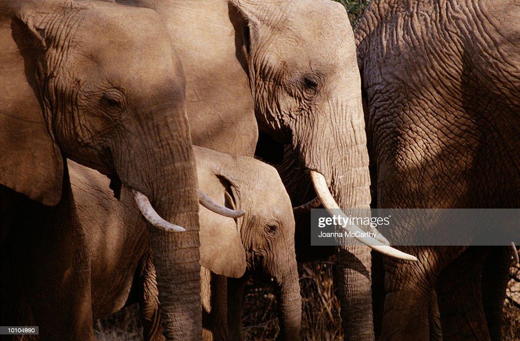 ELEPHANTS IN AFRICA : Stock Photo