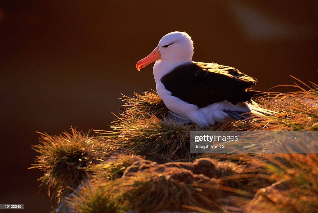 ALBATROSS AT NEST FALKLAND ISLANDS : Stock Photo
