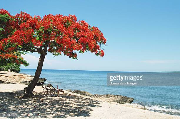 RED FLAMBOYANT TREE ON BEACH IN CUBA