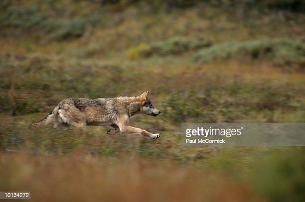 GRAY WOLF STALKING PREY, DENALI NATIONAL PARK, ALASKA
