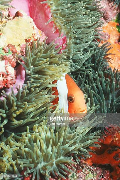 ANEMONEFISH HIDING IN ANEMONE, GREAT BARRIER REEF, CORAL SEA