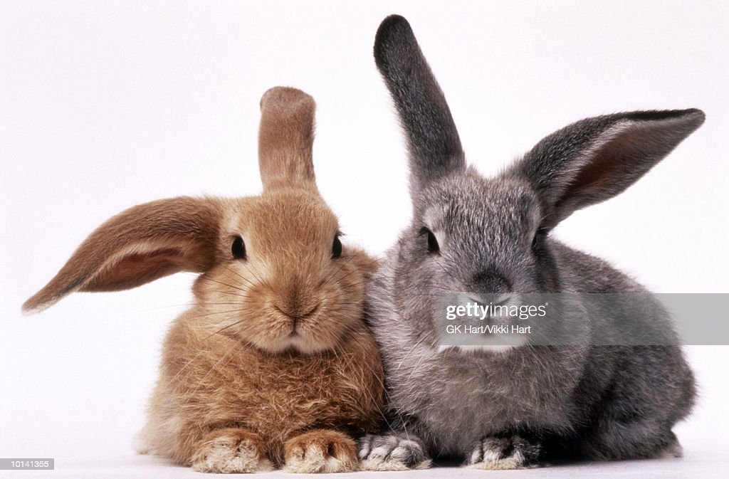 BROWN AND GRAY BUNNIES : Stock Photo