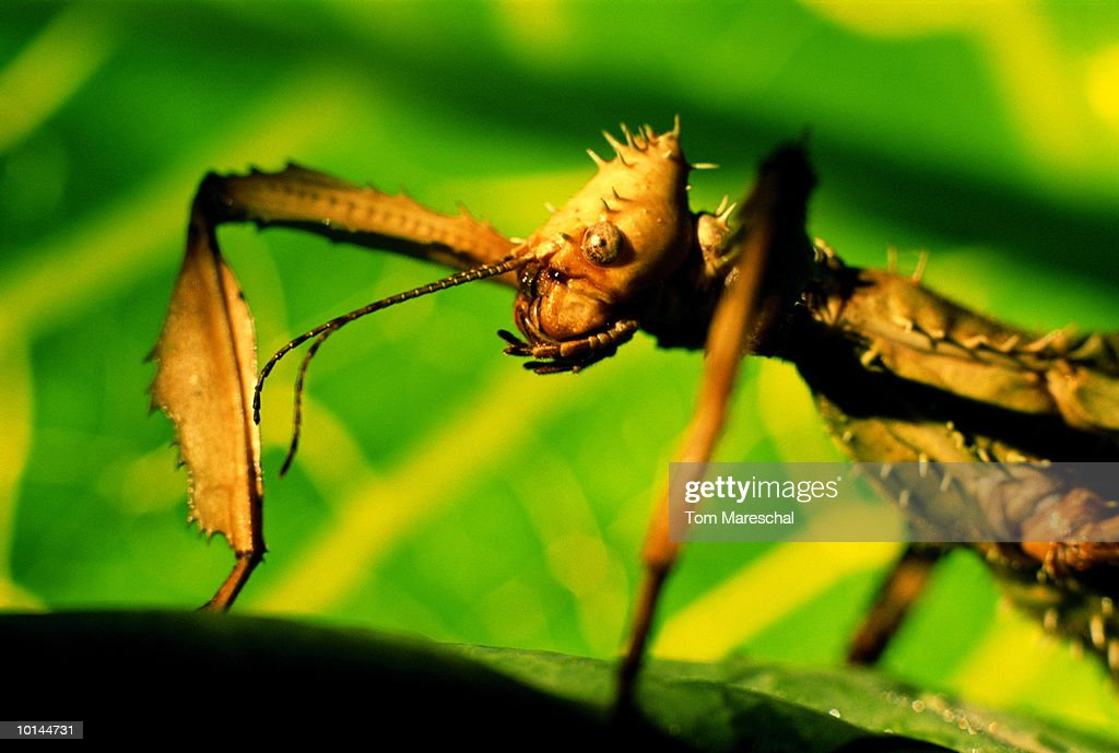 GIANT PRICKLY STICK INSECT WITH LEAF, ORIGIN, AUSTRALIA : Stock Photo