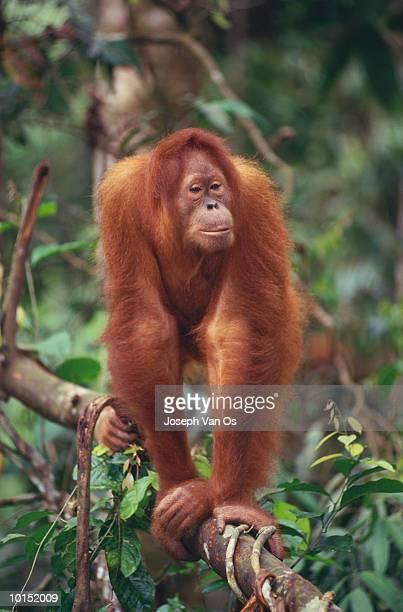 SUMATRA ORANGUTAN, INDONESIA, ON LIANA