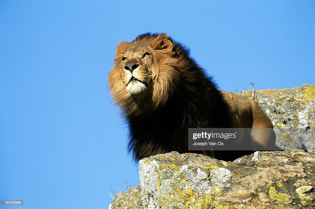 AFRICAN LION : Stock Photo