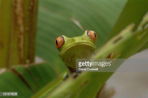 GREEN TREE FROG, TORTUGUERO, COSTA RICA : Stock Photo