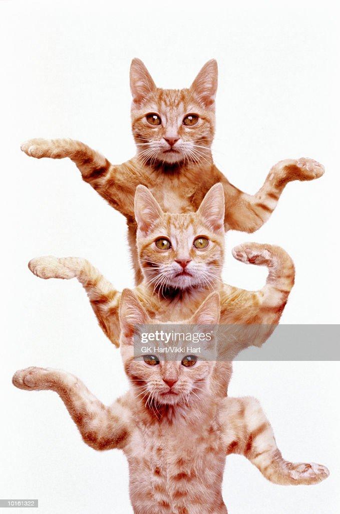 THREE EGYPTIAN CATS : Stock Photo