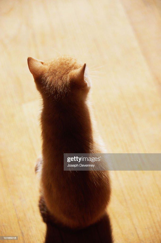 REAR VIEW OF TABBY KITTEN : Stock Photo