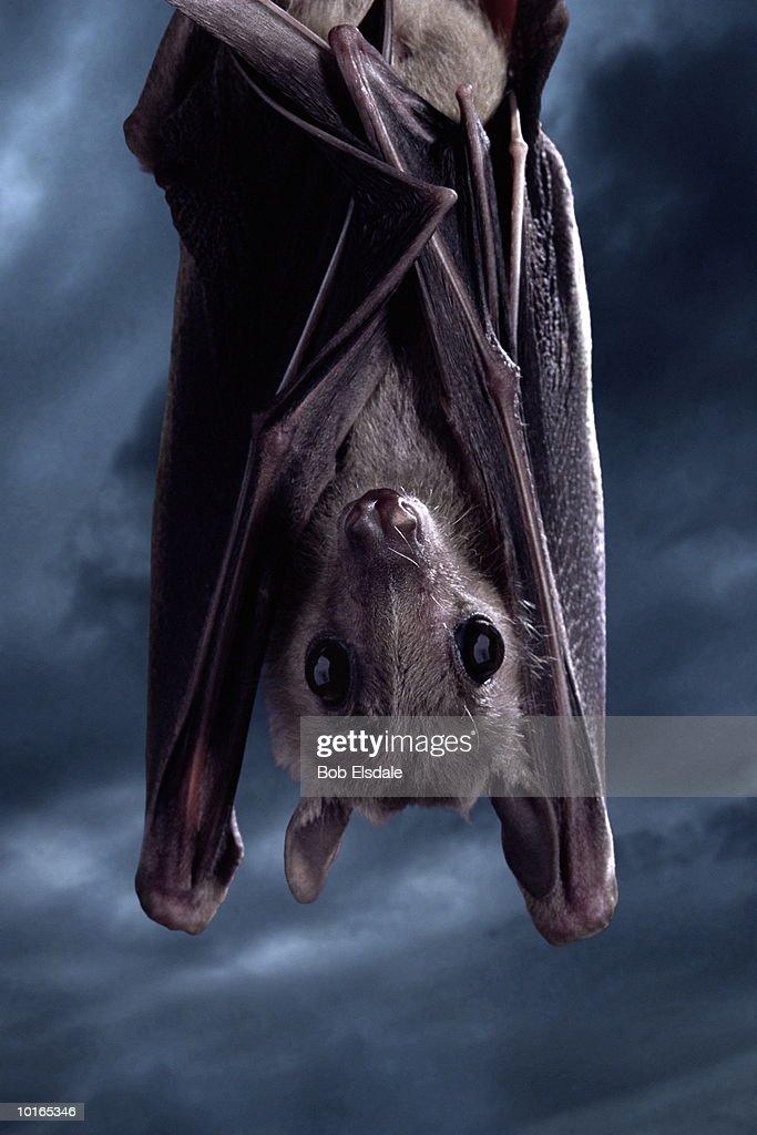 HANGING FRUIT BAT, CLOSE-UP : Stock Photo