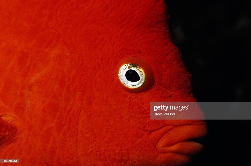 GARIBALDI FISH (HYPSYPOPS RUBICUNDUS) : Stock Photo