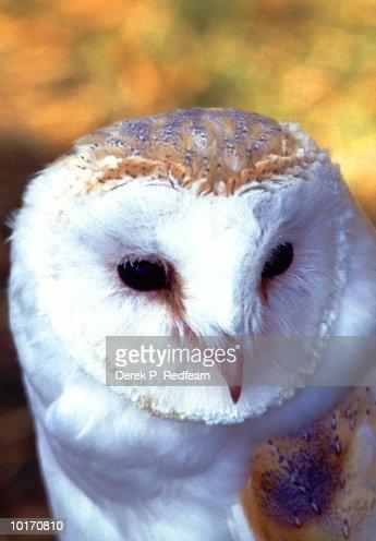 BARN OWL (TYTO ALBA) : Stock Photo