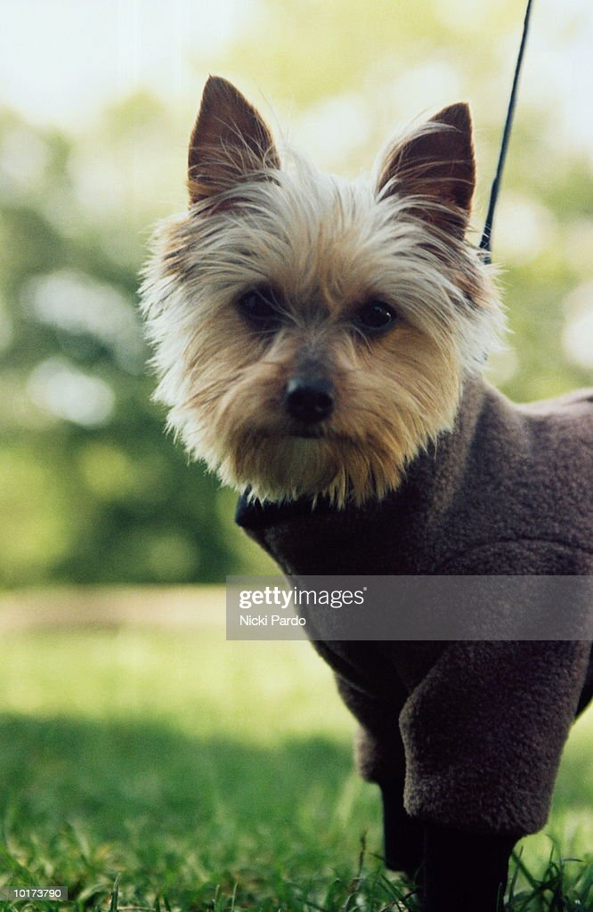 TERRIER WEARING SWEATER, OUTDOORS : Stock Photo