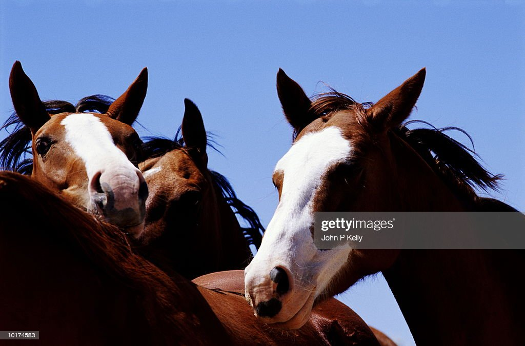 HORSES, CLOSE UP : Stock Photo