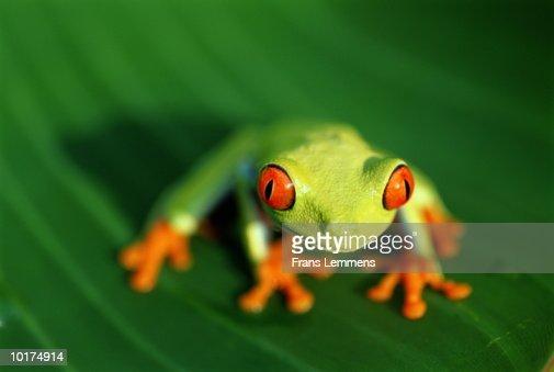 RED-EYED LEAF FROG (AGALYCHNIS CALLIDRYAS), COSTA RICA : Stock Photo