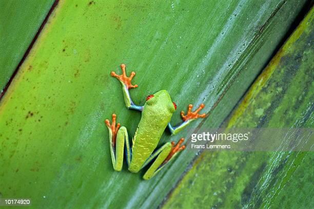 RED-EYED LEAF FROG, (AGALYCHNIS CALLIDRYAS) COSTA RICA