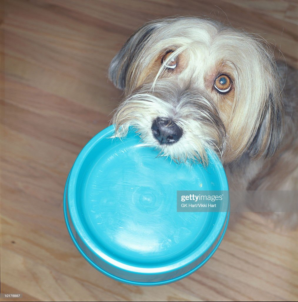 TIBETIAN TERRIER WITH FOOD BOWL IN MOUTH : Stock Photo
