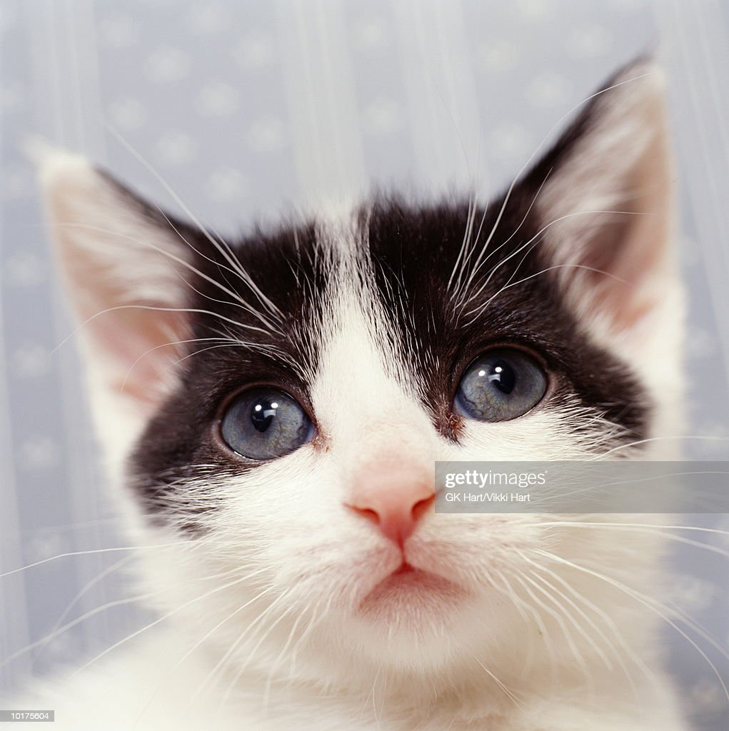 PORTRAIT OF BLACK & WHITE KITTEN, CLOSE-UP : Stock Photo