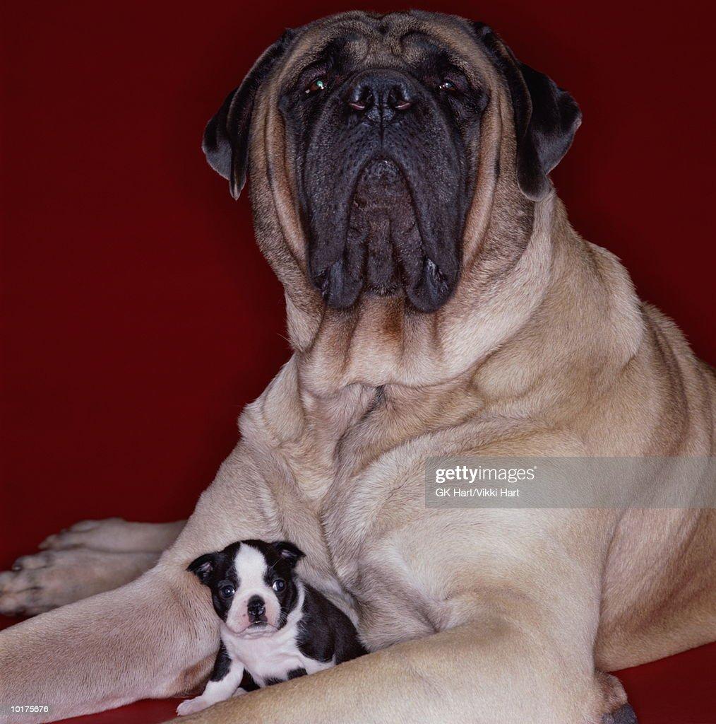LARGE MASTIFF & SMALL BOSTON TERRIER : Stock Photo