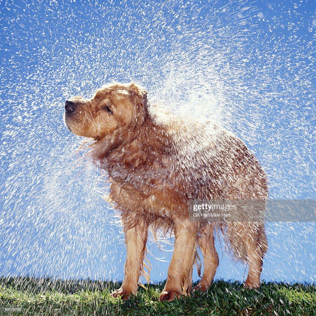 GOLDEN  RETRIEVER SHAKING OFF WATER : Stock Photo