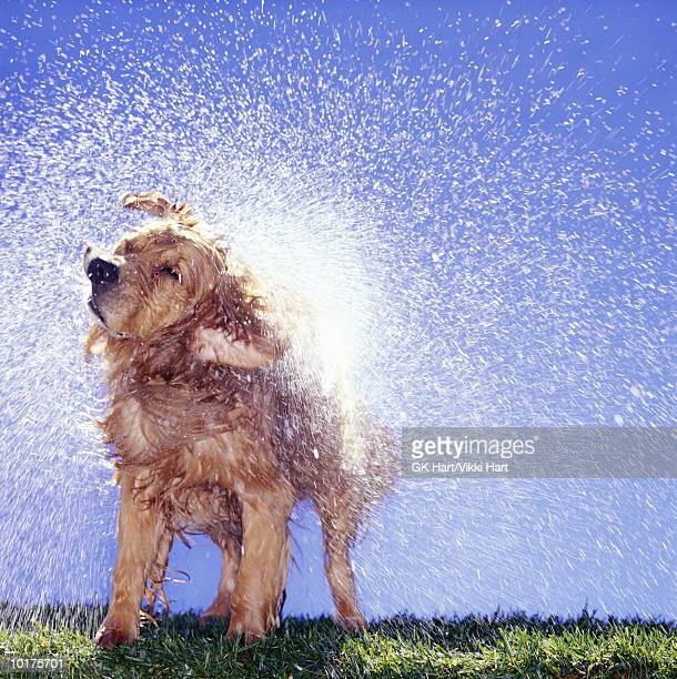 GOLDEN RETRIEVER SHAKING OFF WATER
