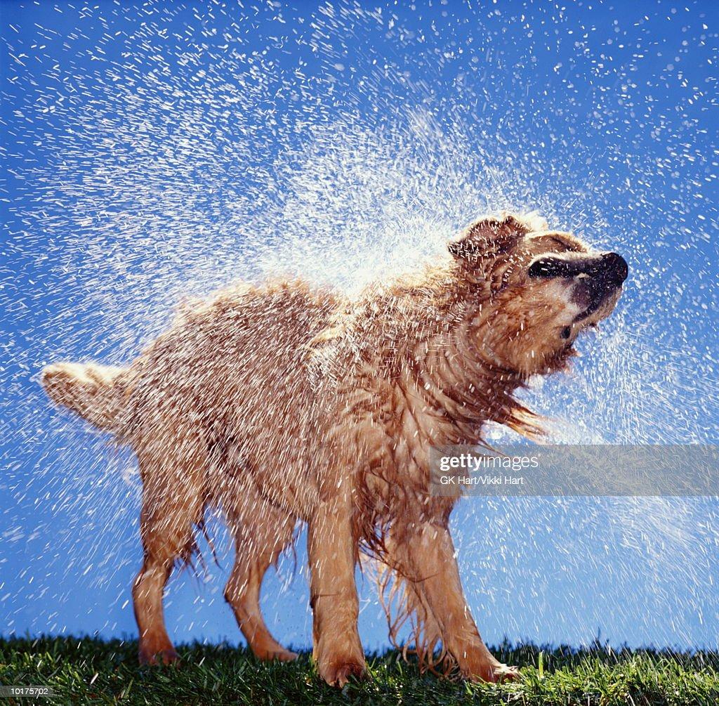 GOLDEN RETRIEVER SHAKING OFF WATER