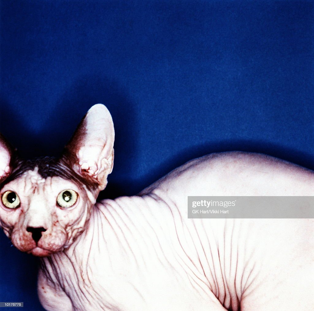 SPHINX HAIRLESS CAT, BLUE BACKGROUND : Stock Photo