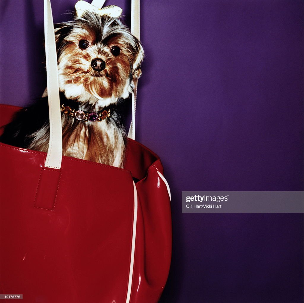 YORKSHIRE TERRIER SITTING IN PURSE