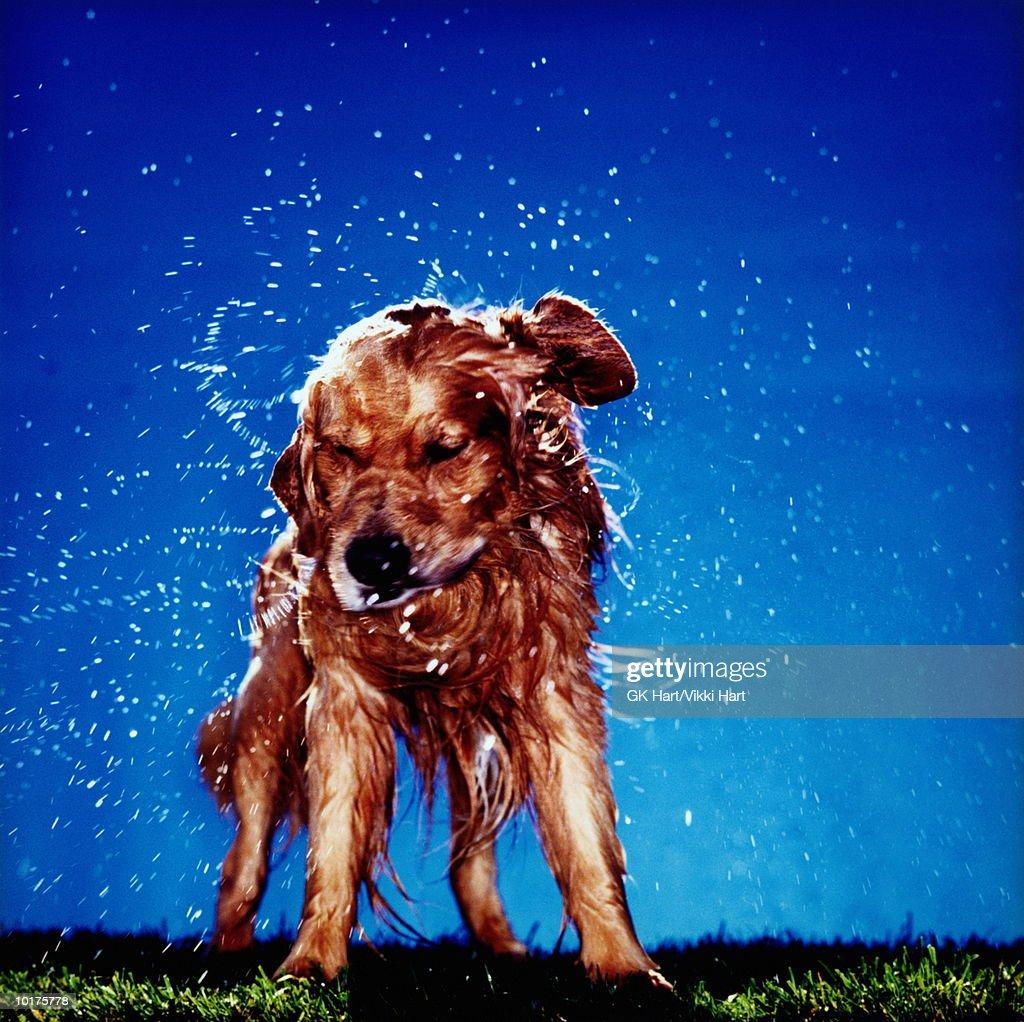 GOLDEN RETRIEVER DOG SHAKING OFF WATER