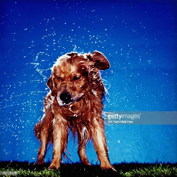 GOLDEN RETRIEVER DOG SHAKING OFF WATER