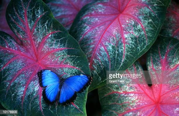 BLUE MORPHO BUTTERFLY ON LEAVES