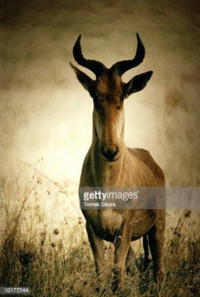 HARTEBEEST, TANZANIA, AFRICA