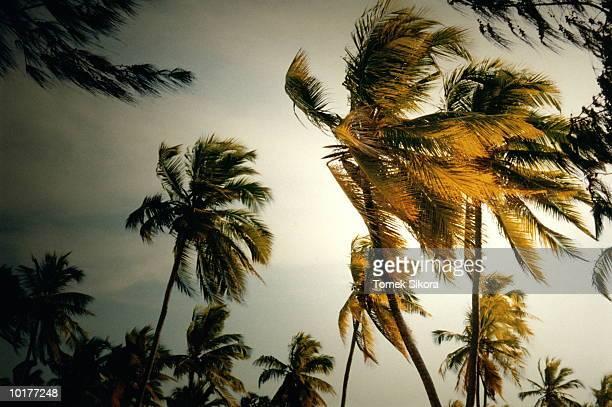 PALM TREES IN WIND, TANZANIA, AFRICA