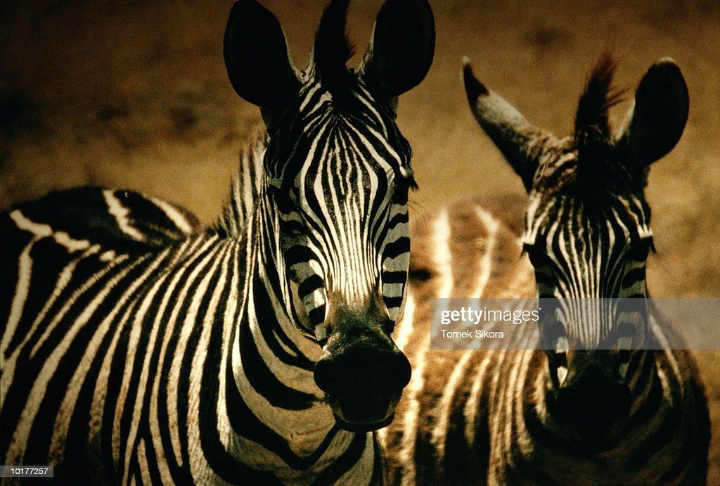 ZEBRAS, CLOSE-UP, TANZANIA, AFRICA : Stock Photo