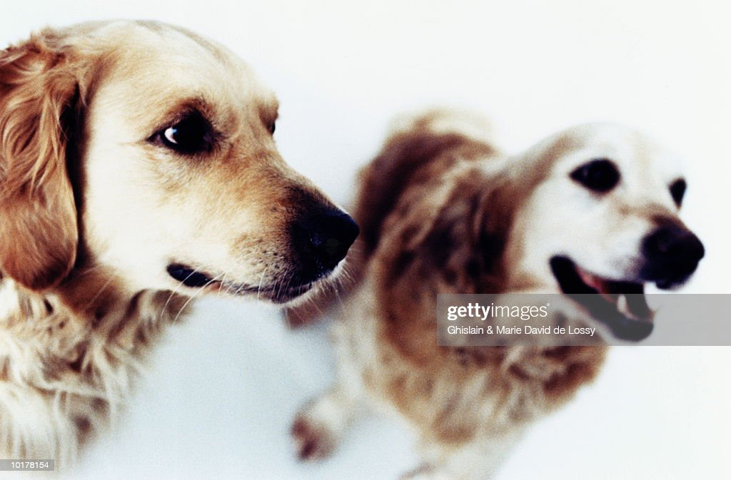 TWO GOLDEN RETRIEVERS, CLOSE UP : Stock Photo