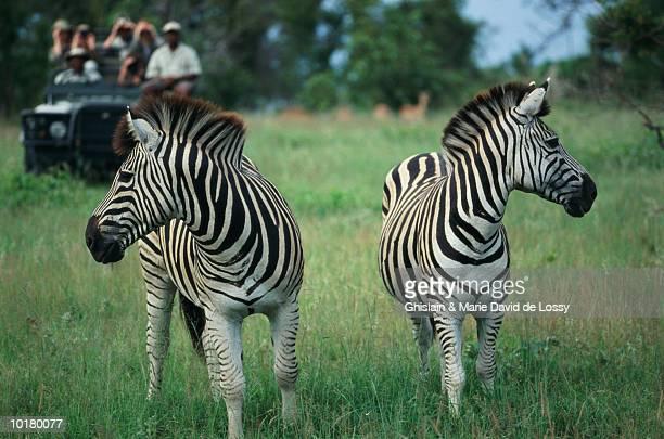 GROUP VIEWING ZEBRAS (EQUUS BURCHELLI) ON SAFARI, SOUTH AFRICA