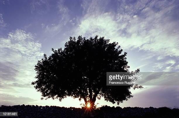 CAROB TREE, SICILY, ITALY