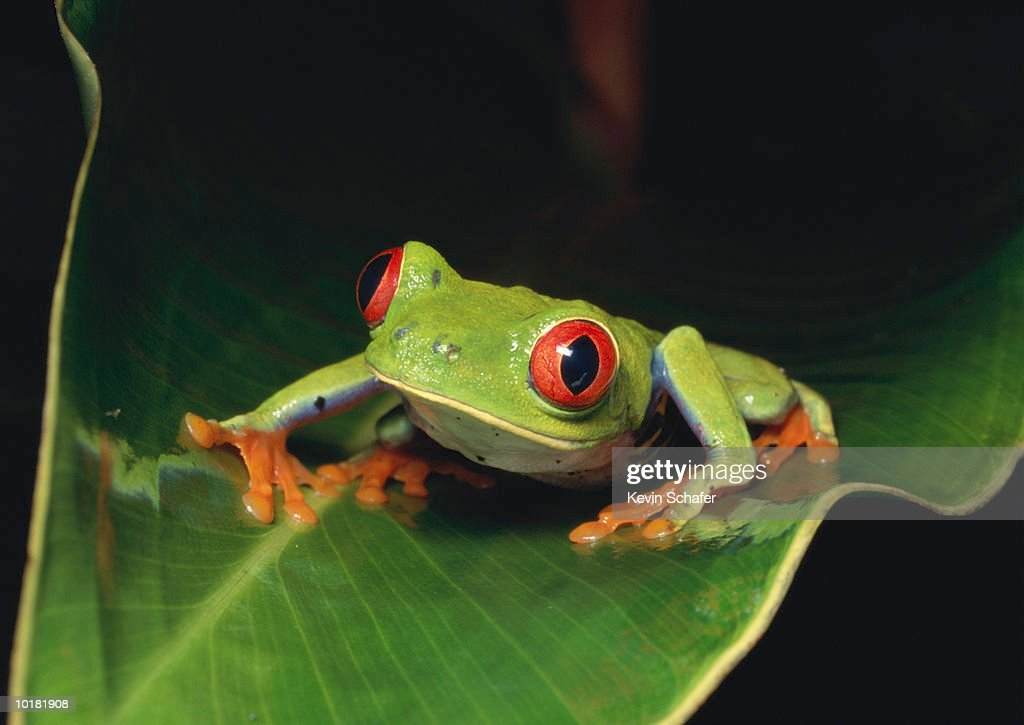 RED EYED TREE FROG  ON LEAF, COSTA RICA : Stock Photo