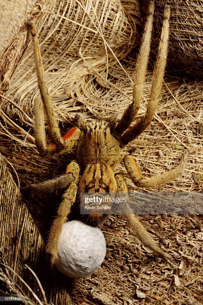 TROPICAL SPIDER, FEMALE WITH EGG CASE : Stock Photo