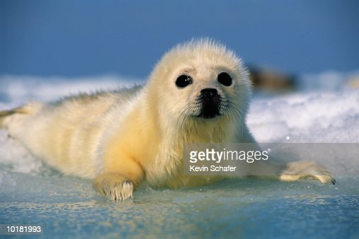 HARP SEAL PUP RESTING ON ICE