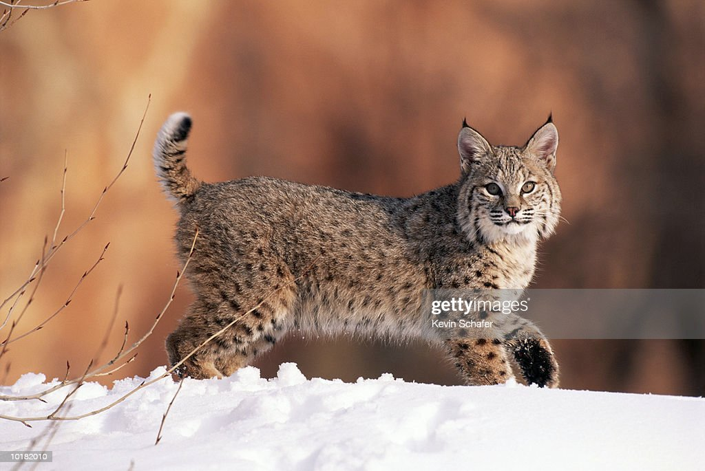 BOBCAT IN THE SNOW OF FOREST, UTAH, USA : Stock Photo