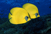 BLUE CHEEKED BUTTERFLY FISH (CHAETODON SEMILARVATUS), RED SEA, EGYPT