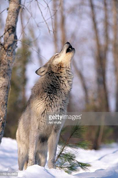HOWLING GREY WOLF, MONTANA