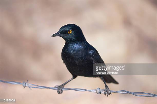 PALEWINGED STARLING, NAMIBIA