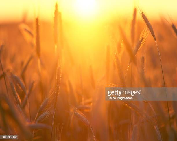 FIELD OF WHEAT, CLOSE-UP, SWEDEN