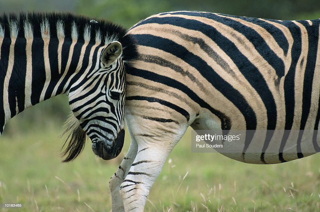 ZEBRA STANDS NOSE TO TAIL WITH HERD : Stock Photo
